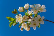 Free Blossoming Cherry Royalty Free Stock Photos - 24533818