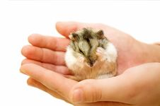 Free The Hamster Sits On A Palm And Washes Royalty Free Stock Photo - 24533905