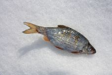 Free Fish In The Snow Royalty Free Stock Photo - 24538935