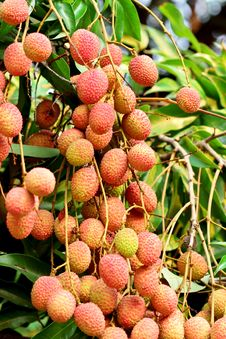 Free Lychee Royalty Free Stock Photography - 24538937