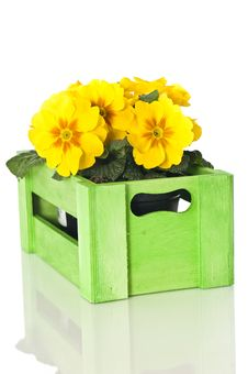 Free Primrose In Wooden Box Stock Photos - 24540113