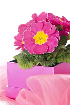 Free Primrose As A Gift Royalty Free Stock Images - 24540259