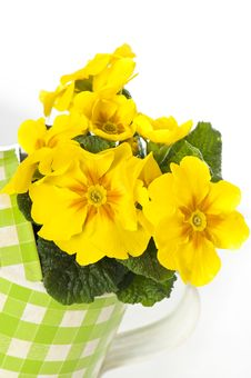 Free Primrose In Flower Pot Royalty Free Stock Photos - 24540458