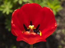 Free Red Tulip Royalty Free Stock Images - 24548189