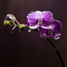Free Beautiful Orchid. Royalty Free Stock Image - 24548876