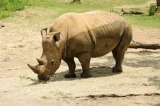 Free White Rhinoceros Royalty Free Stock Photo - 24550915