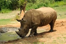Free White Rhinoceros Stock Image - 24550921