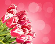 Free Pink Tulips Royalty Free Stock Photos - 24554838