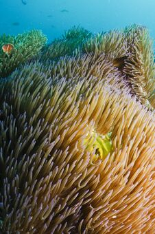 Free Anemone Fish Royalty Free Stock Images - 24555129