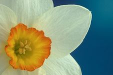 Free Daffodil Flower Stock Photos - 24558923