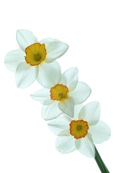 Free Daffodil Flower Royalty Free Stock Photography - 24558927