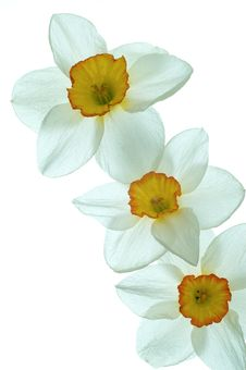 Free Daffodil Flower Stock Photo - 24558930