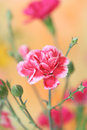 Free Carnation Royalty Free Stock Photography - 24562667