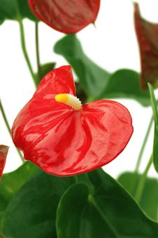 Free Anthurium Royalty Free Stock Images - 24561469