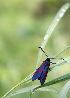 Free Six-spot Burnet Stock Photography - 24562302