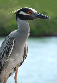 Free Yellow Crowned Night Heron Stock Photos - 24562813