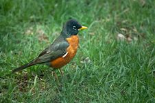 American Robin Profile Royalty Free Stock Image
