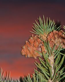 Free Pinion Pine Cones Against A Colorful Sky Royalty Free Stock Images - 24566649