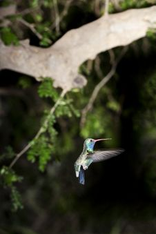 Free Hummingbird Flutters Inf Light Royalty Free Stock Image - 24566676