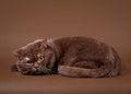 Free British Cat Stock Images - 24575584
