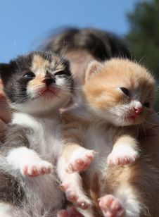 Free Cute Kittens Royalty Free Stock Photography - 24572057