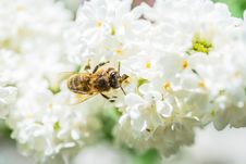 Free Bee On Flowers Stock Image - 24575381
