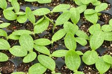 Free Squash Seedlings Stock Photography - 24576172