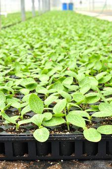 Squash Seedlings Royalty Free Stock Photos