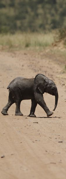 Free Baby Elephant Road Crossing Stock Photography - 24578352