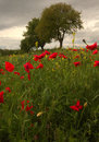 Free Field Of Red Poppies Stock Images - 24585664