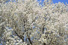 Free Spring Tree Stock Photos - 24580903