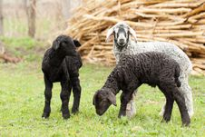 Cute Lambs Stock Photos