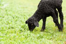 Free Cute Lamb Stock Images - 24581084