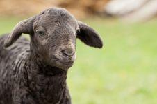 Free Cute Lamb Stock Images - 24581104