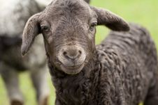 Free Cute Lamb Royalty Free Stock Images - 24581129