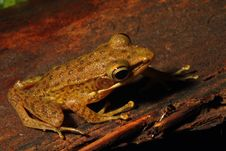 Free Brown Frog Royalty Free Stock Photography - 24582117