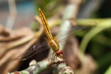 Yellow Dragonfly Stock Photography