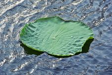 Free Lotus Royalty Free Stock Images - 24585679