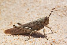 Grasshopper, Locusts Basking Royalty Free Stock Image