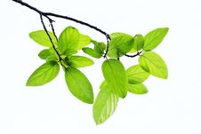 Free Leaves Royalty Free Stock Photo - 24588115