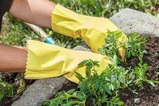 Free Detail Of Woman Hand Gardening Stock Photo - 24589530