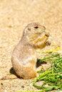 Free Groundhog Royalty Free Stock Photo - 24590365