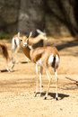 Free Antelope Stock Photography - 24590492