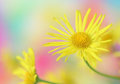 Free Yellow Daisy Stock Photography - 24590532