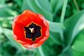 Free Red Tulip. Royalty Free Stock Photography - 24592927