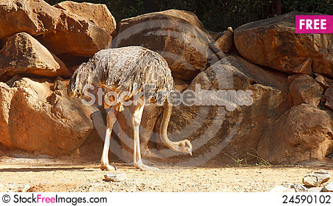 Free Ostrich Pecking At Dirt Stock Photography - 24590102