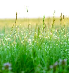 Free Green Grass With Drops Of Dew Stock Photos - 24591783