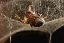 Free Venomous Spider Stock Photography - 24592332