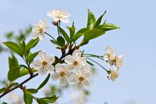 Free Blossoming Branch Of A Cherry. Stock Images - 24593144