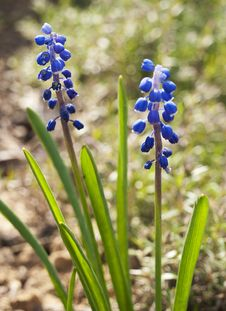 Free GRAPE HYACINTH Stock Image - 24596141